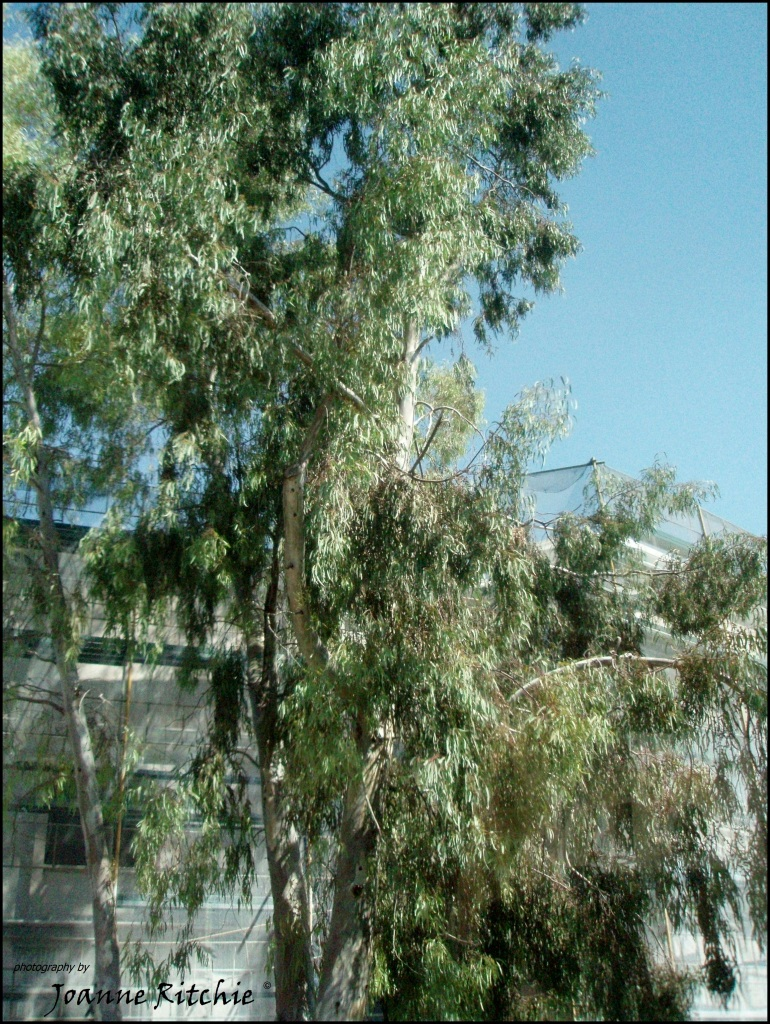 Gum Trees in Greece