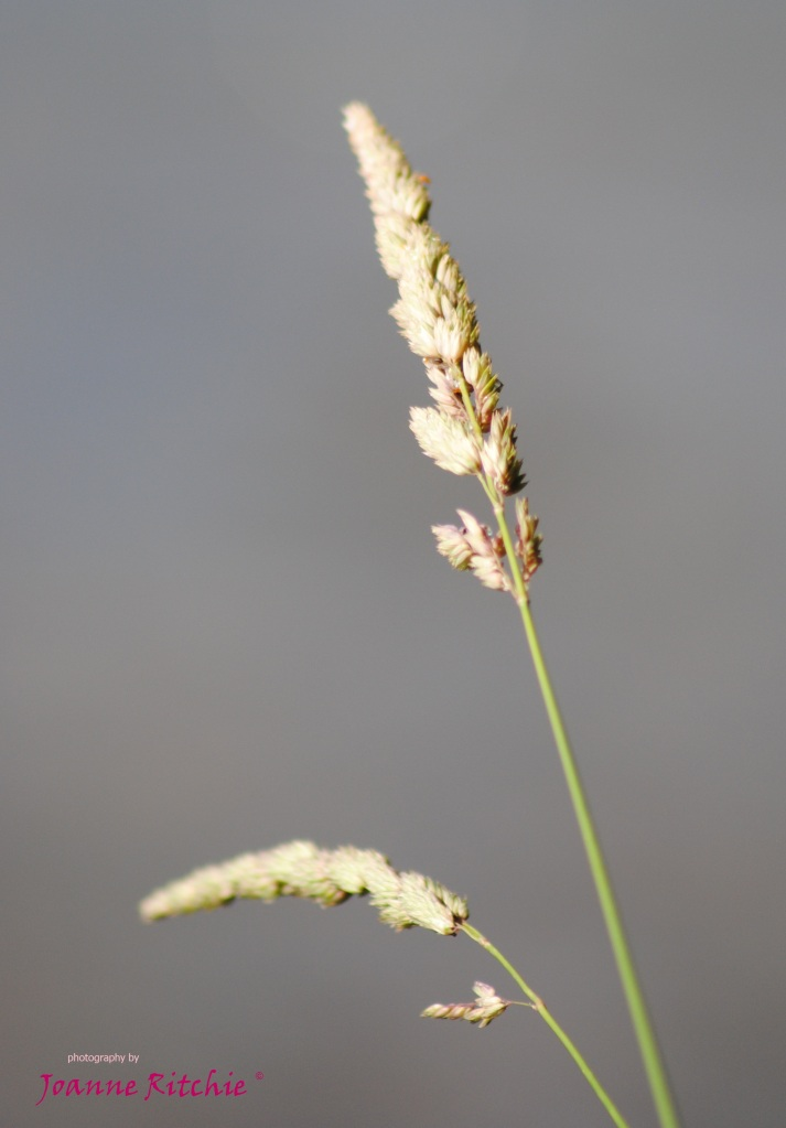Grass stems