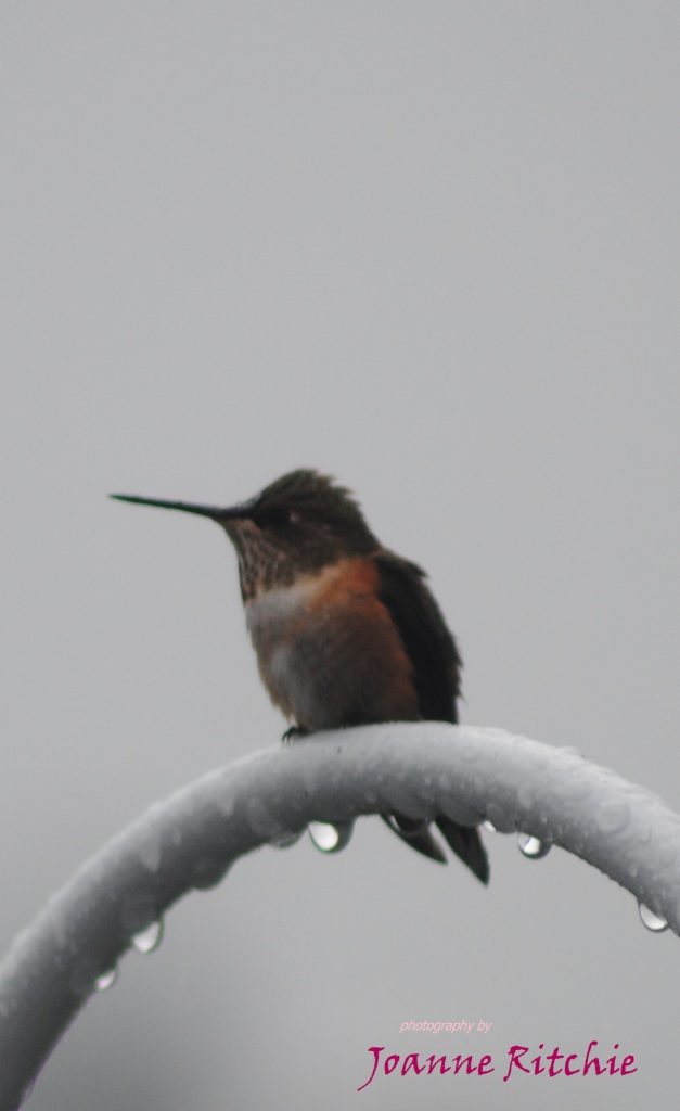 Hummingbird in the cold