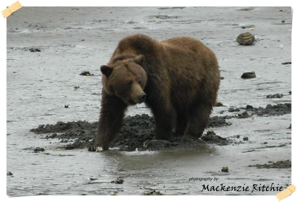 Bear watching of Prince Rupert