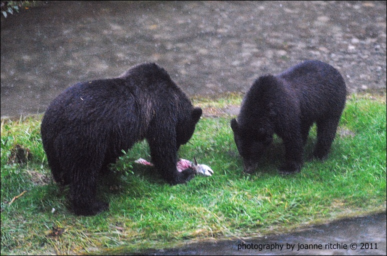 Dinner Time for the Black Bears!