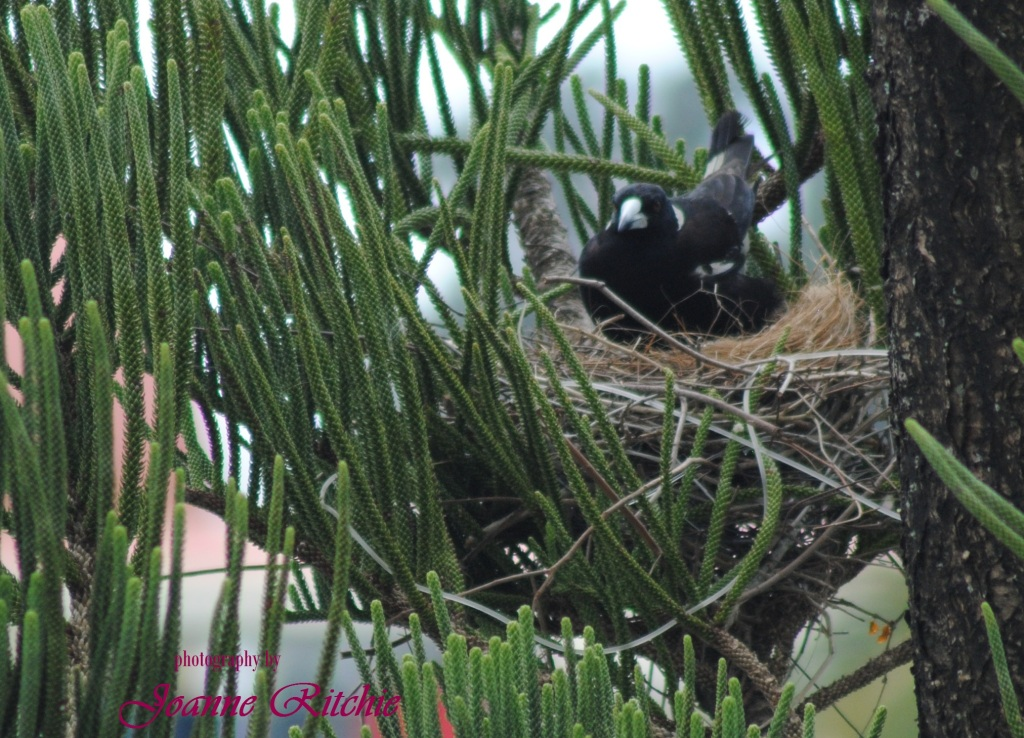 Magpie Nesting