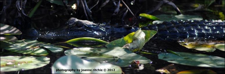 Miami - Alligator in the everglades