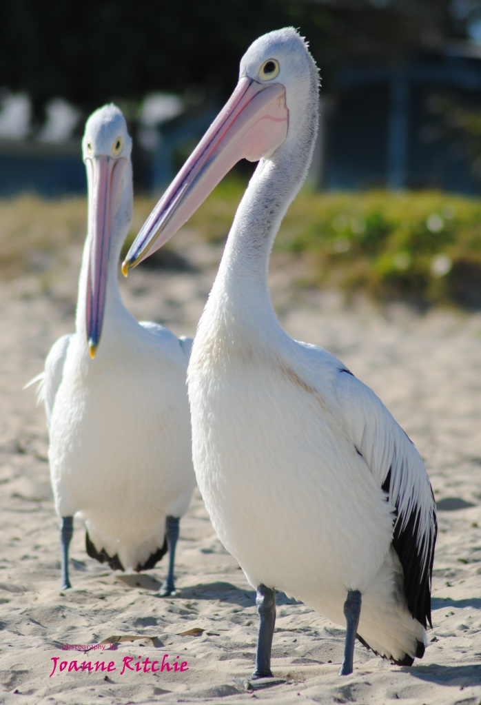 Pelican Pair - how gorgeous are they?