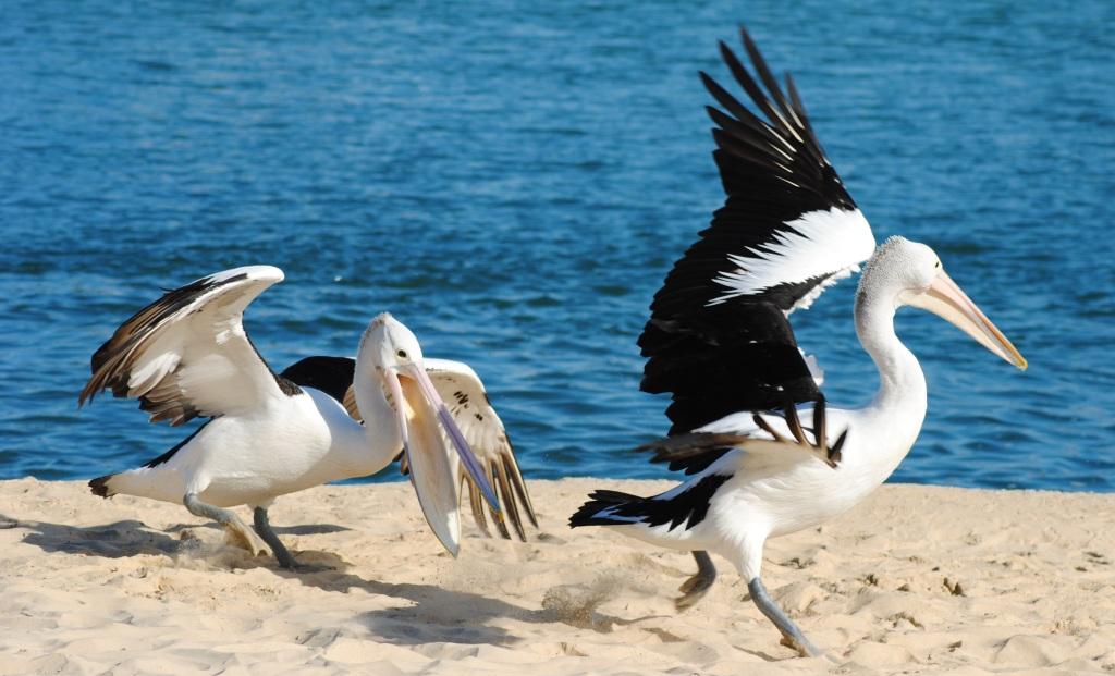 Pelican Tango