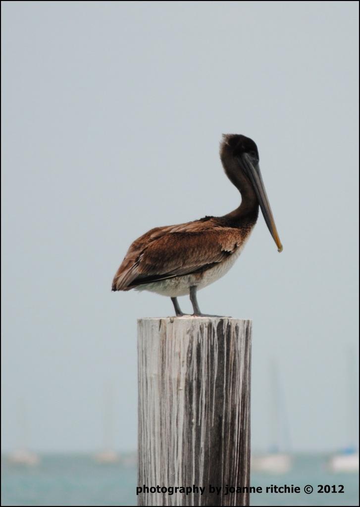 RR  Dark Pelicans WTF