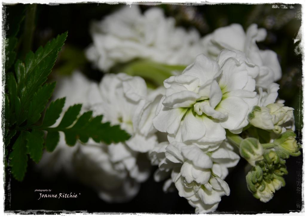 Stock shot... my current FAVORITE flower!