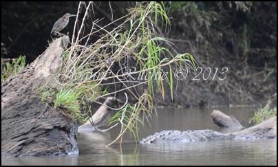 Crocodile and herron