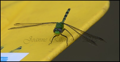 Dragonfly Beauty