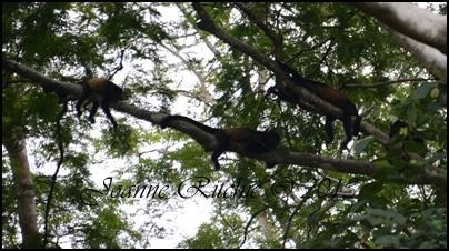 Howler Monkeys sleeping at Noon
