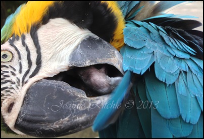 Macawls are so cute - even when preening!