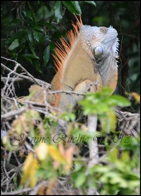 My Gorgeous Iguana