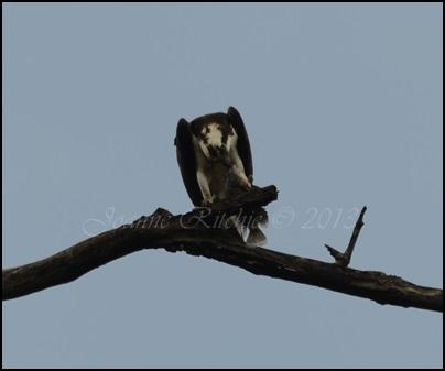 An Osprey enjoying its lunch