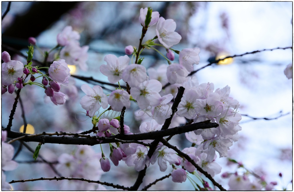 Cherry Blossom Blooms - simply glorious!