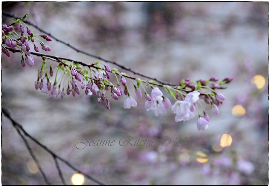 Purple Blossoms - Cherry Blossoms only just budding!
