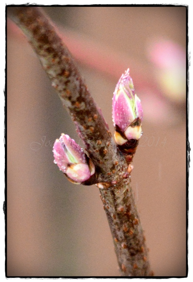 Springtime buds with a sprinkling of raindrops!