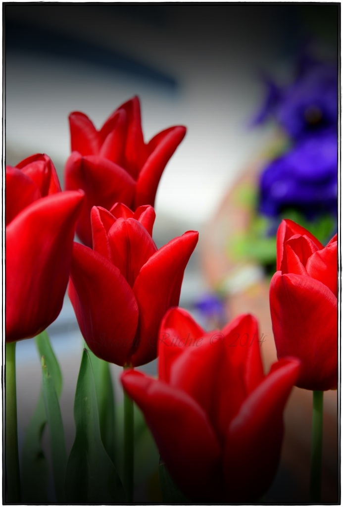 Glorious Red Tulips!