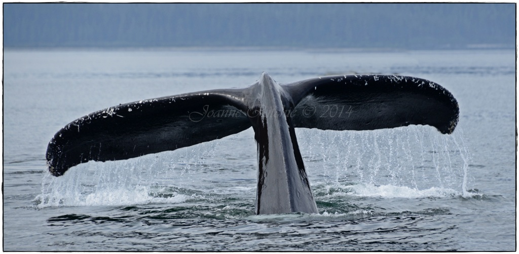 Humpback Whale Tail - yea baby!!!