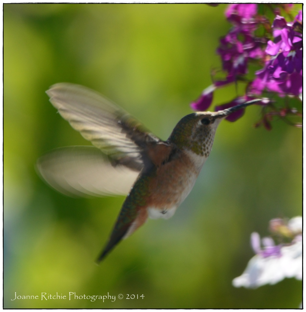 Hummers enjoy the purple blooms!