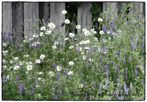 Fenced in flowers - glorious!
