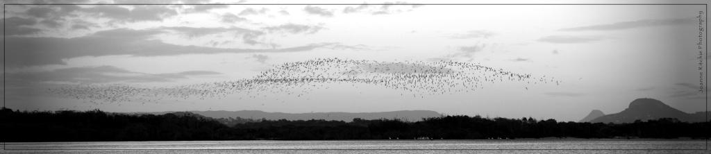 Migratory Birds - Sunshine Coast, Qld - Australia